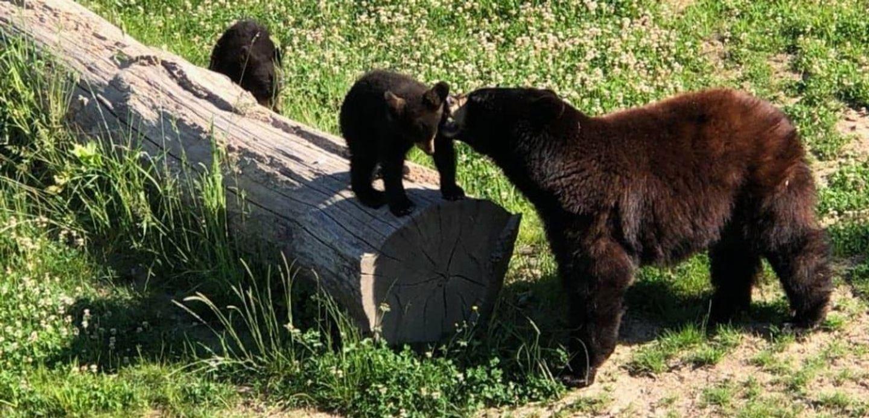 Les ours du parc animalier de Sainte-Croix