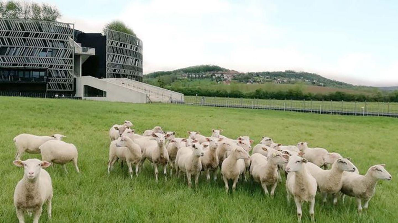 Le MuséoParc et ses moutons vous attendent à partir de mercredi