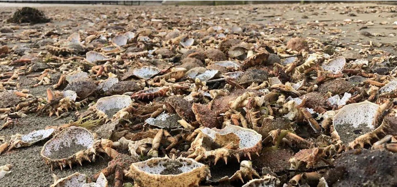 Plage de Saint malo recouverte de carcasses d'araignées de mer - Photo Ouest France