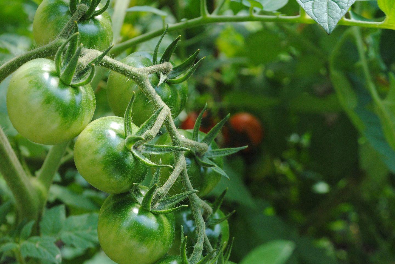 culture de tomates