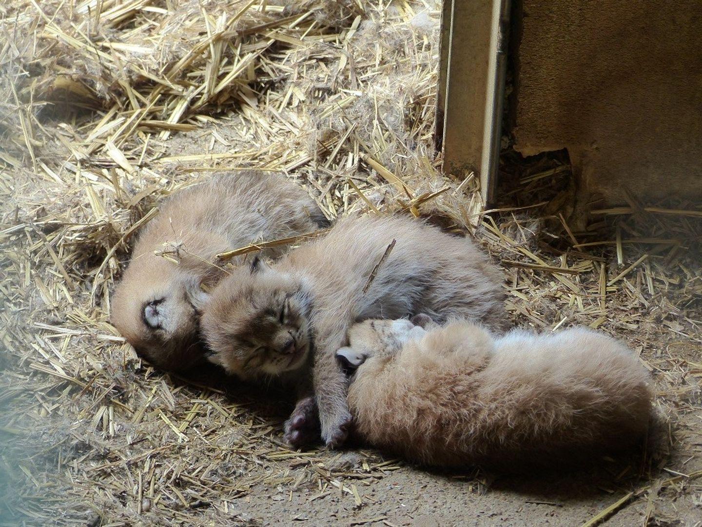 Photo des trois petits lynx de Casteil