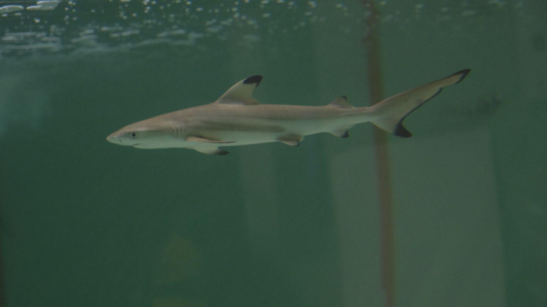 Une rare naissance d'un requin à pointe noire au sein de l'Aquarium...