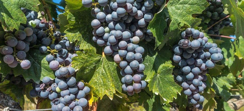 Bordeaux : mélanger vin et cannabis, une première en France