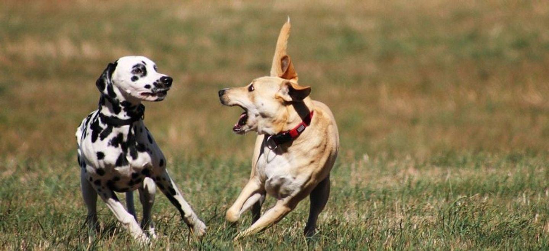Voici la race de chien élue la plus belle au monde selon la science