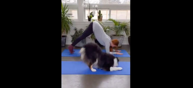 Un chien enchaîne les postures de yoga et fait fondre la toile (Vidéo)