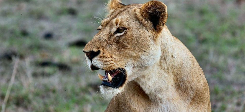 Une lionne attaque son dresseur pendant un numéro de cirque (Vidéo)