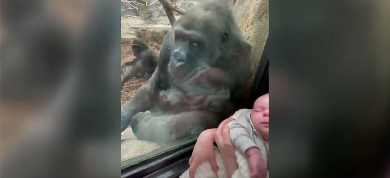 Une maman gorille fascinée par un nouveau-né à travers la vitre du...