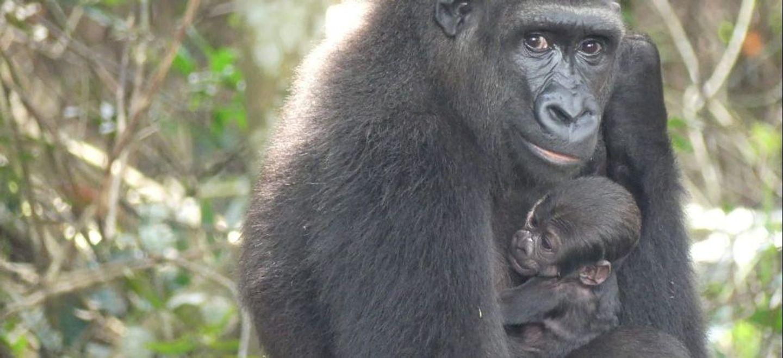 Une gorille du zoo de Beauval réintroduite au Gabon donne naissance...
