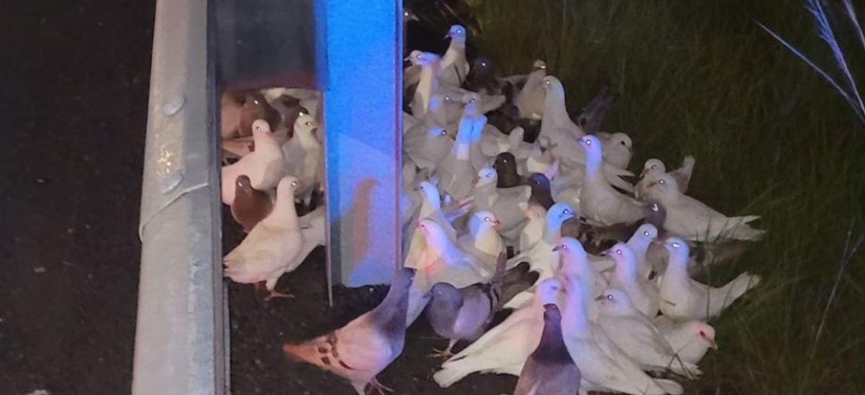 Des pigeons sèment la pagaille sur une autoroute en pleine nuit...
