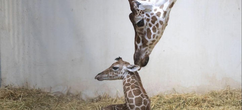Un bébé girafe est né au ZooParc de Beauval ! (vidéo)