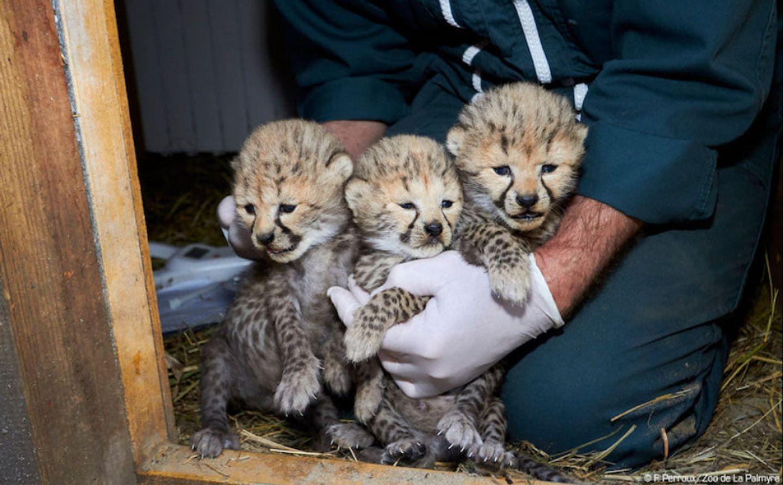Charente-Maritime : trois femelles guépards nées au Zoo de la...