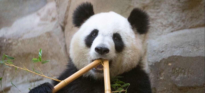La femelle panda du Zoo Parc de Beauval attend un bébé