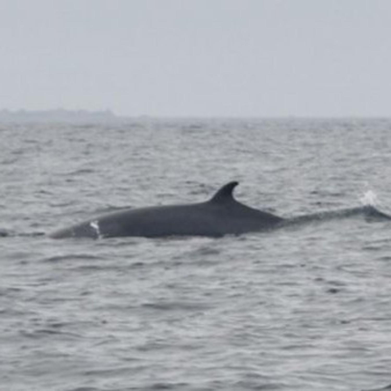 Une baleine à bosses et deux rorquals observés au large des côtes bretonnes !