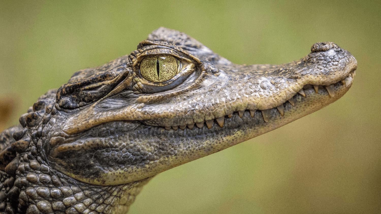 Faux crocodile dans le lac de Bourg-Blanc (Brest)