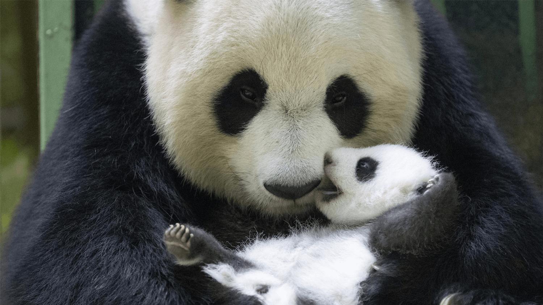 Les bébés panda du Zoo de Bauval ont ouvert les yeux !
