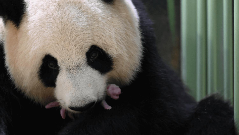 Naissance de jumelles pandas au Zoo de Beauval