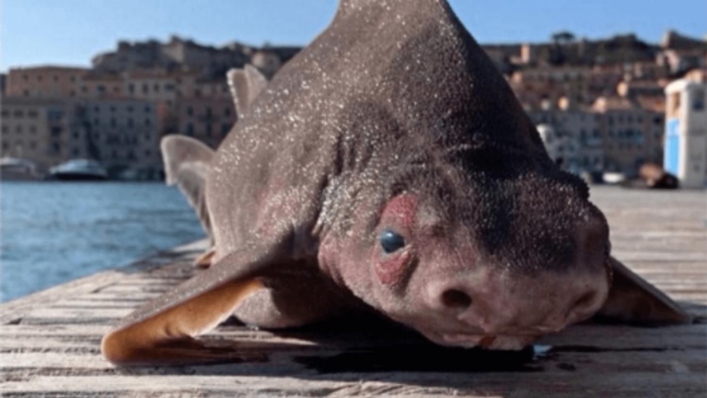 Un requin-cochon trouvé en Italie