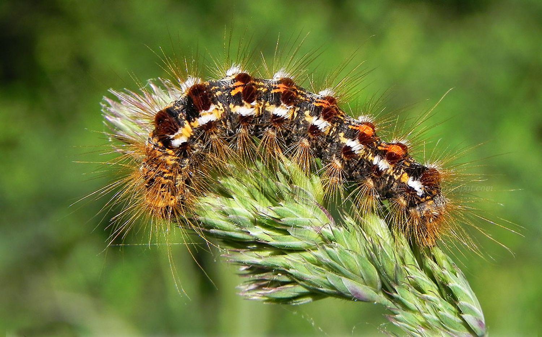 Chenille papillon Cul-Brun forêt feuille verdure