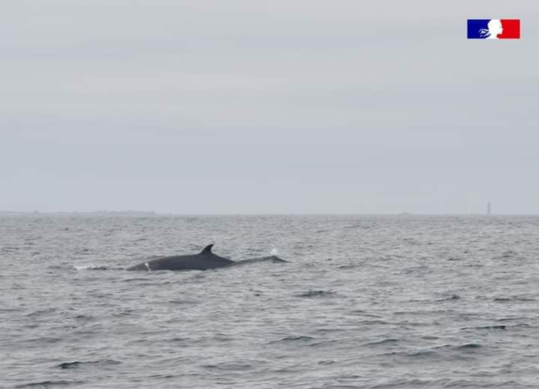 Des baleines à bosse et des rorquals ont été observés par le parc naturel marin d'Iroise