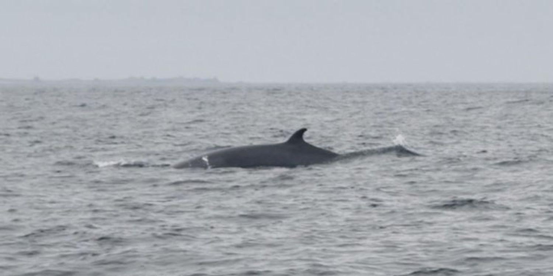 une baleine à bosses et deux rorquals observés au large des côtes bretonnes