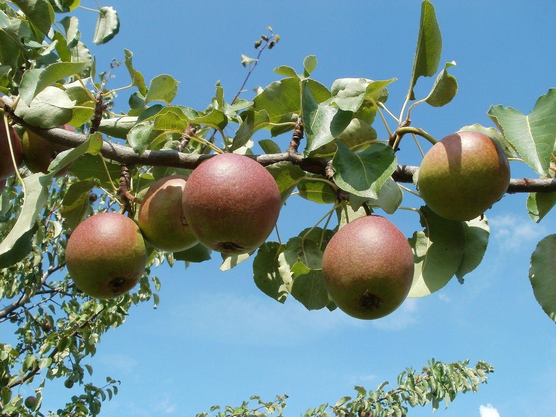 Vergers de pommes
