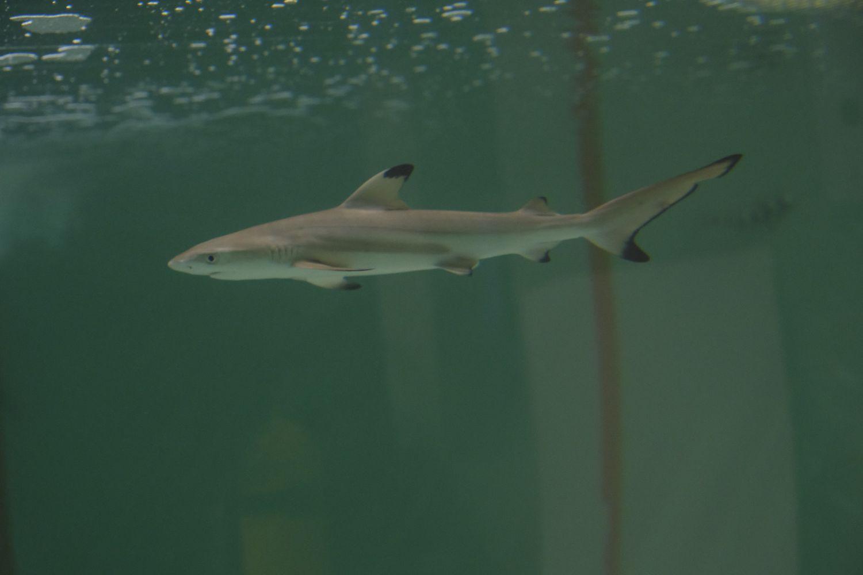 Une femelle requin à pointe noire dans l'Aquarium de Paris.