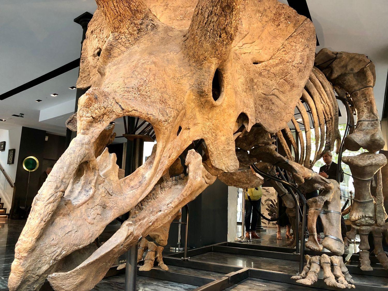 Le dinosaure Big John, vieux de 66 millions d'années, exposé en plein cœur du Marais.