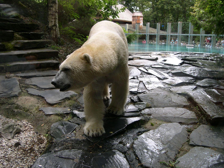 Un ours polaire du Zoo de la Flèche.