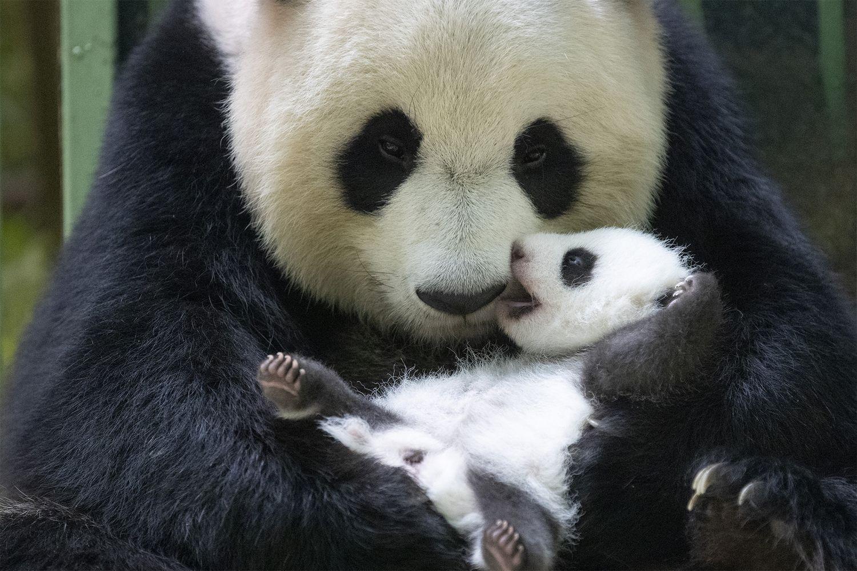 La mère Huan Huan passe 3 à 4h par jour avec ses deux bébés.