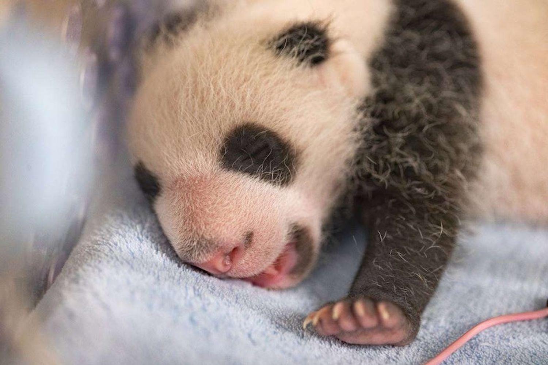 Zoo de Beauval : les jumelles panda fêtent leur un mois !