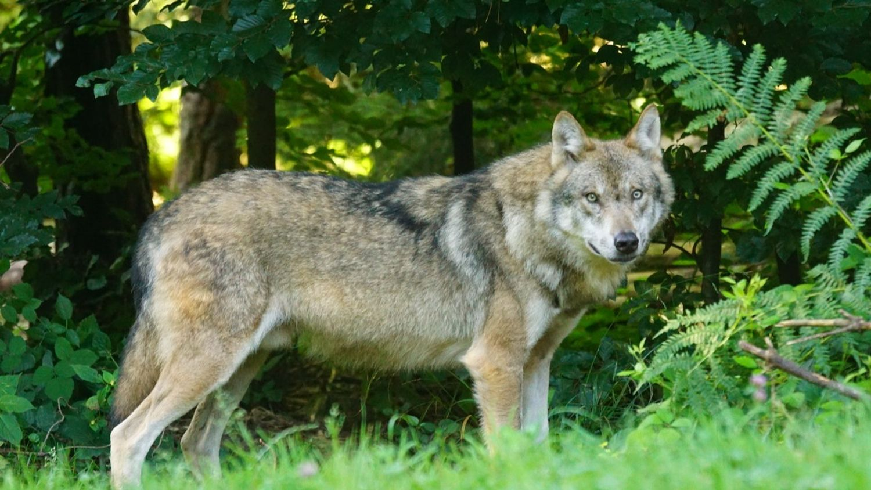 Un loup gris en forêt