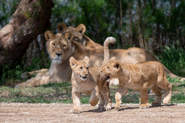 Lionceau de Sigean
