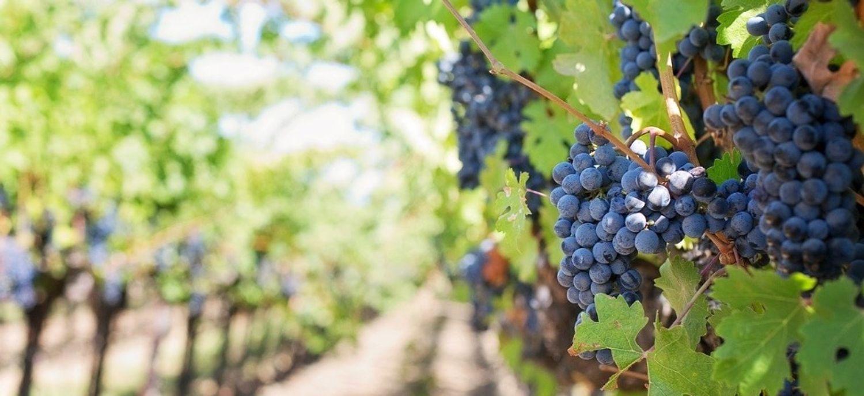 La viticulture fait partie des secteurs agricoles en manque de main d'oeuvre.