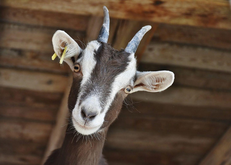 Une chèvre aurait été victime de sévices sexuels à Tours.