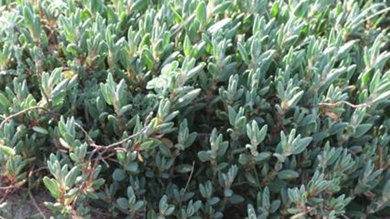 Deux plantes en voie de disparition repérées à La Forêt-Fouesnant...