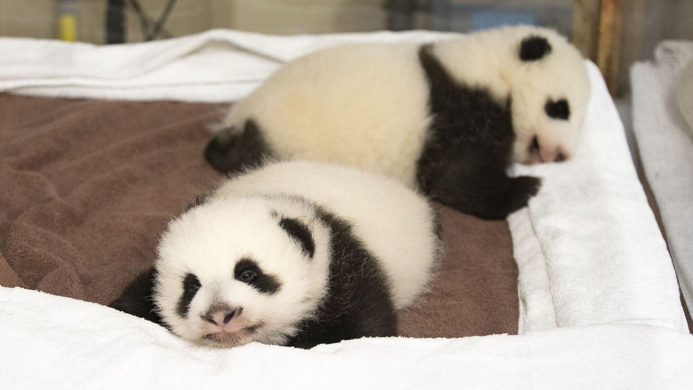Kylian Mbappé, parrain de l'un des bébés pandas du Zoo de Beauval !
