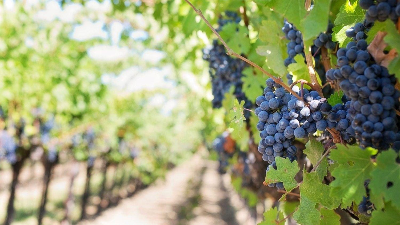 Pesticides dans les vignes : une étude lancée en Nouvelle-Aquitaine...