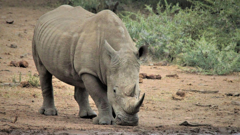 Zoo de Thoiry : bientôt un troisième rhinocéros blanc dans le parc