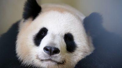 Un nouveau bébé panda attendu au zoo de Beauval