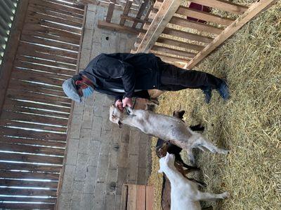 Suivez Le Guide - Les Chèvres De La Saffrie