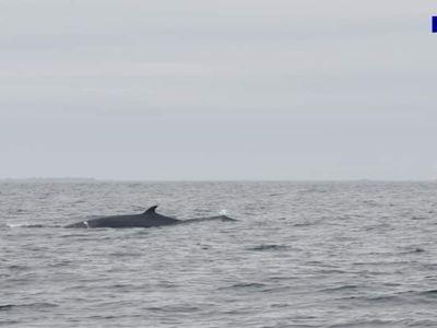Le parc naturel marin d'Iroise publie les images de rorquals et...