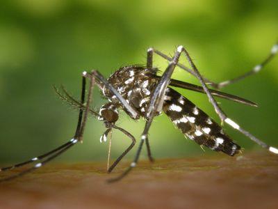 Découverte de moustiques tigres en Bretagne.