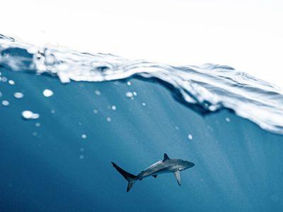 Un requin-taupe s'échoue à Plougrescant (22)