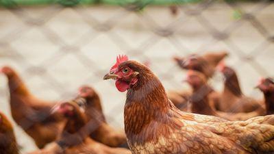 """Grippe aviaire : le risque diminué en """"niveau modéré"""""""