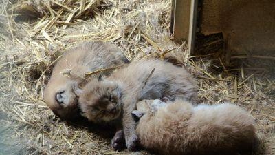 Des naissances pour les parcs animaliers de Casteil et Sigean