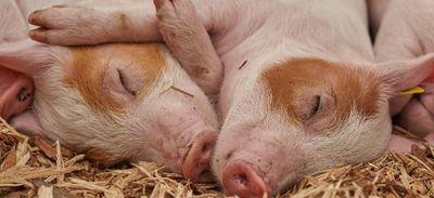 Temps de cochons à Saint-Gildas-des-Bois