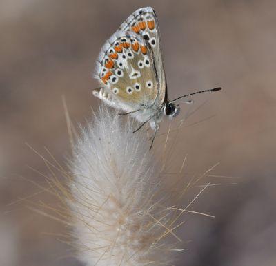 Tous aux papillons ! Envoyez vos clichés en aidant les naturalistes