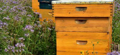 Des abeilles envahissent Larmor-Plage.