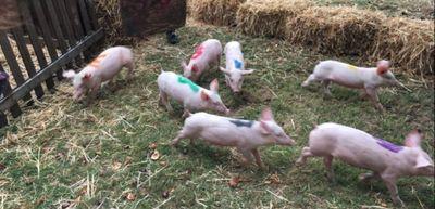 Les cochons défient le mauvais temps à Ste Gemmes d'andigné