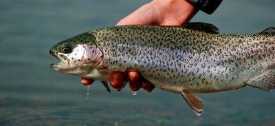 Ouverture de la pêche à la truite ce samedi